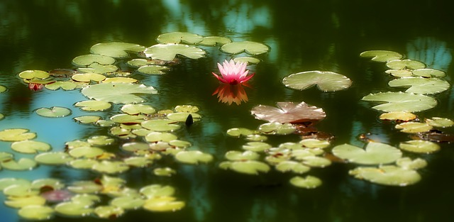 water-lily-664087_640