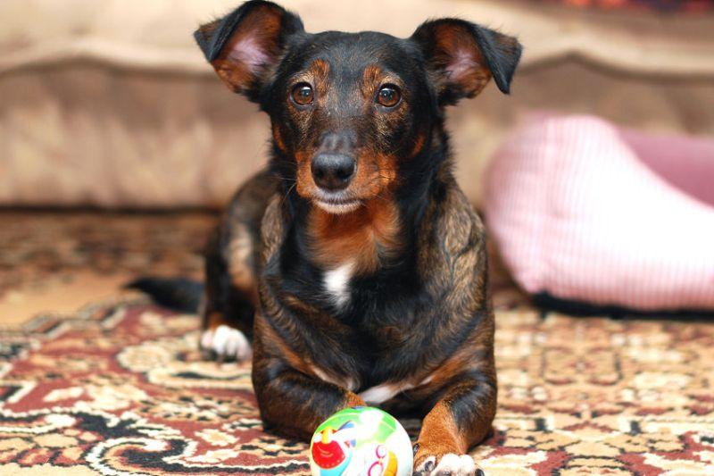 43267992 - dog lying on carpet