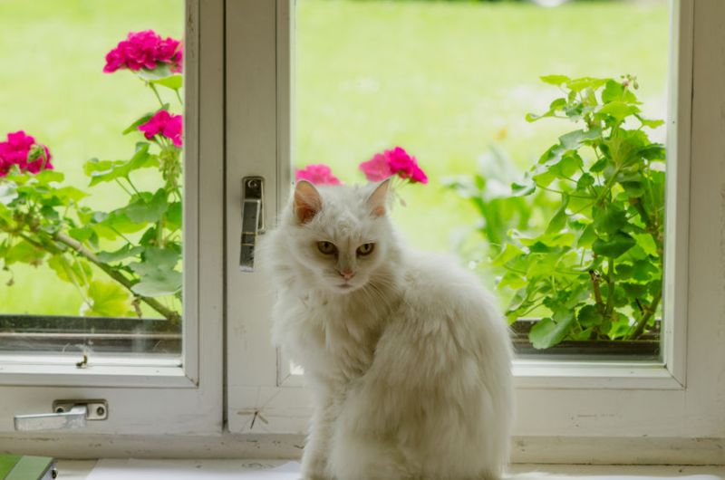 29790721 - white old fluffy cat pet sit on sill in front of window and flowers on other side.